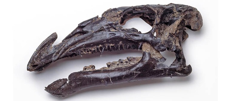 The skull of Iguanodon atherfieldensis